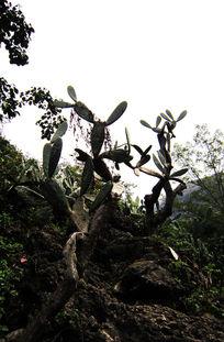 悬崖峭壁上的百年仙人掌