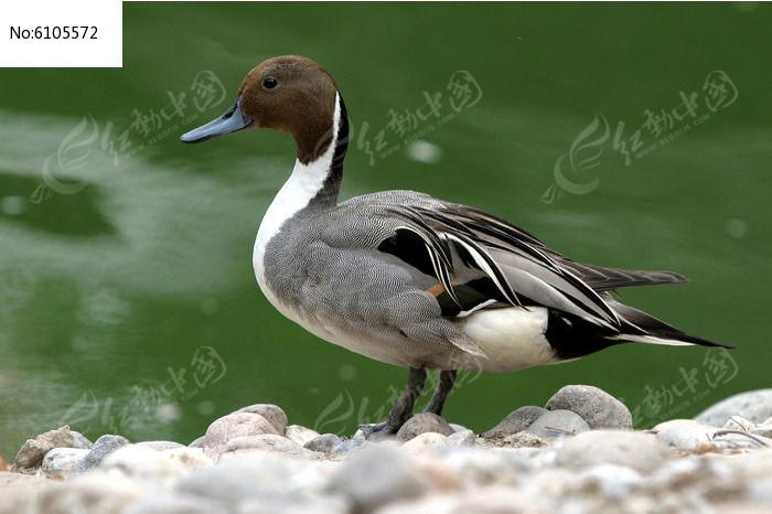 针尾鸭图片,高清大图_水中动物素材