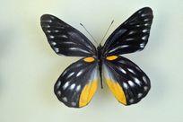 报喜斑粉蝶