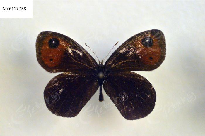 原创摄影图 动物植物 昆虫世界 耳环山眼蝶