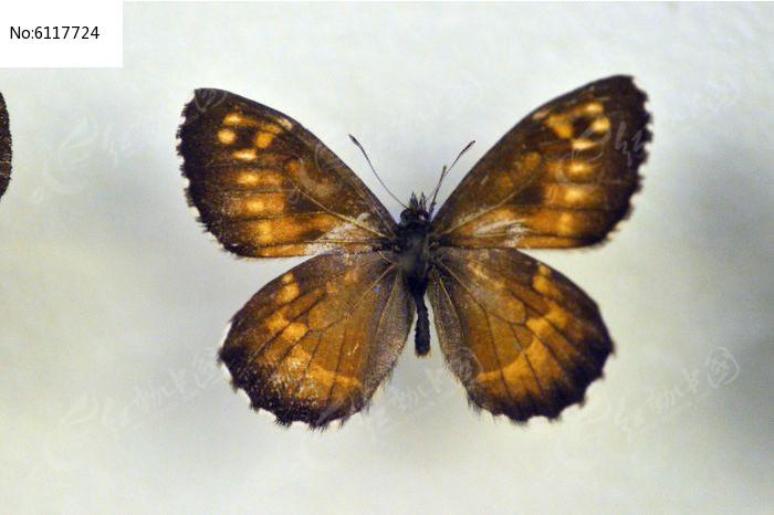 原创摄影图 动物植物 昆虫世界 古北拟酒眼蝶