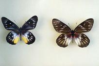 黄喜斑粉蝶