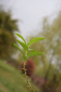 柳树的生命之芽