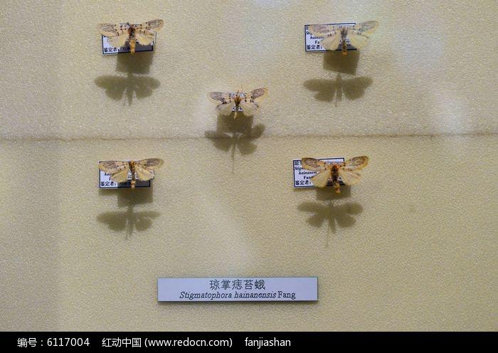 原创摄影图 动物植物 昆虫世界 琼掌痣苔蛾