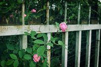 伸出围栏的花朵