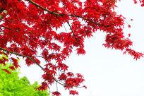 霜叶红于二月花
