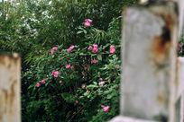 栅栏里的朵朵红花