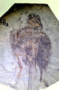 长城鸟化石