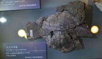 大头中华鱼化石
