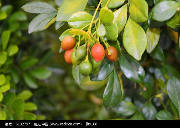 原创摄影图 动物植物 树木枝叶 > 红绿果实图片  素材编号 : 6132797