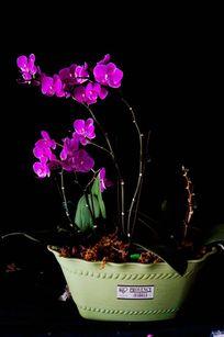 盆栽的蝴蝶兰花