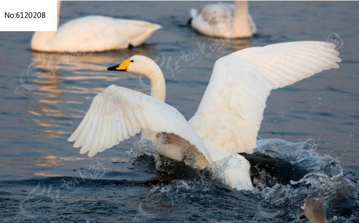 原创摄影图 动物植物 空中动物 天鹅追逐  请您分享: 红动网提供空中