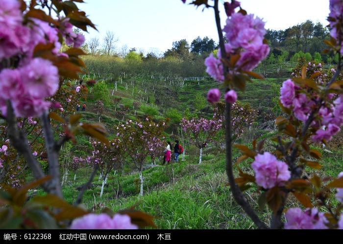游客在四方山植物园赏樱花图片