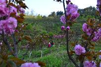 游客在四方山植物园赏樱花
