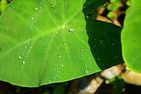 沾有水珠的叶子