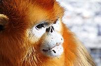 金丝猴面部特写