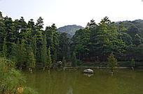 森林公园里的杉木