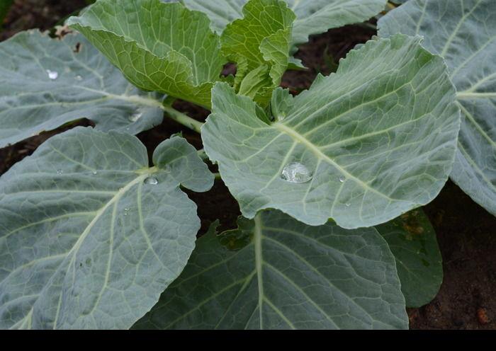 原创摄影图 动物植物 农作物 蔬菜