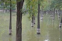 水中生长的杉木