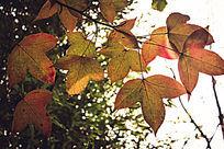 阳光照在金黄色的枫叶上