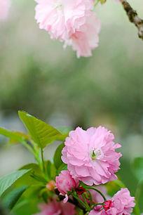 樱花花朵特写