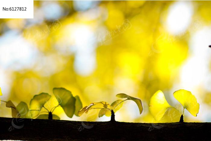 原创摄影图 动物植物 树木枝叶 银杏树叶逆光  请您分享: 红动网提供