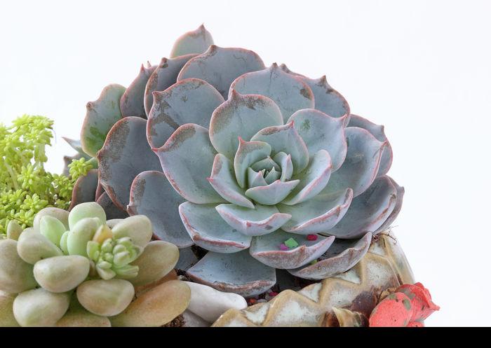 多肉植物蓝石莲图片,高清大图