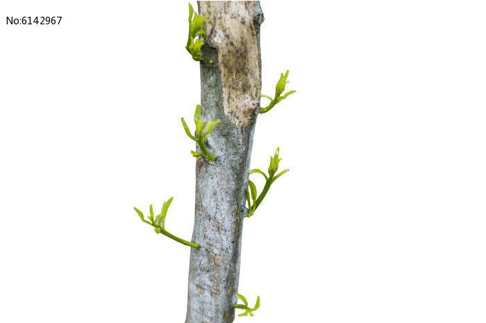 原创摄影图 动物植物 树木枝叶 发芽的树枝  请您分享: 红动网提供