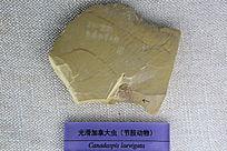 光滑加拿大虫化石