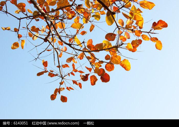 原创摄影图 动物植物 树木枝叶 红叶蓝天