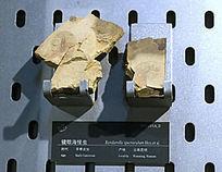 镜眼海怪虫化石