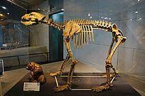 山顶洞出土晚更新世的洞熊完整骨架