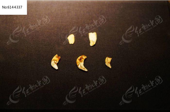 山顶洞人装饰品 穿孔兽牙