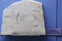 早白垩世沼泽也蜓化石