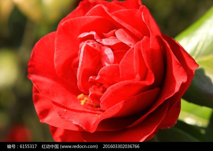 原创摄影图 动物植物 花卉花草 大红花