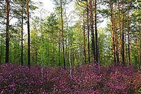 大兴安岭森林春花盛开