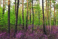 杜鹃花盛开的松林
