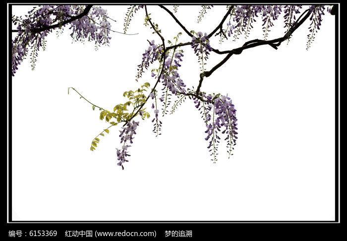 多串紫藤花