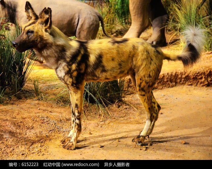 非洲草原野狗图片,高清大图_陆地动物素材