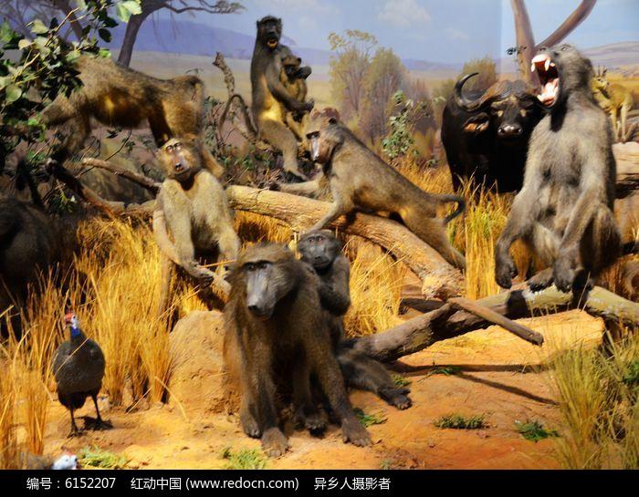 非洲猴图片,高清大图_陆地动物素材