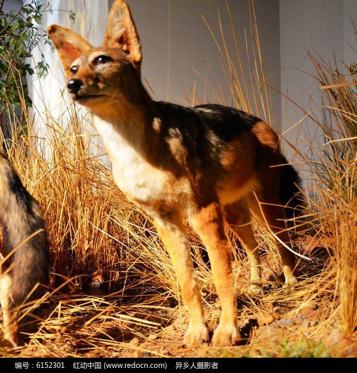 原创摄影图 动物植物 陆地动物 非洲野狗