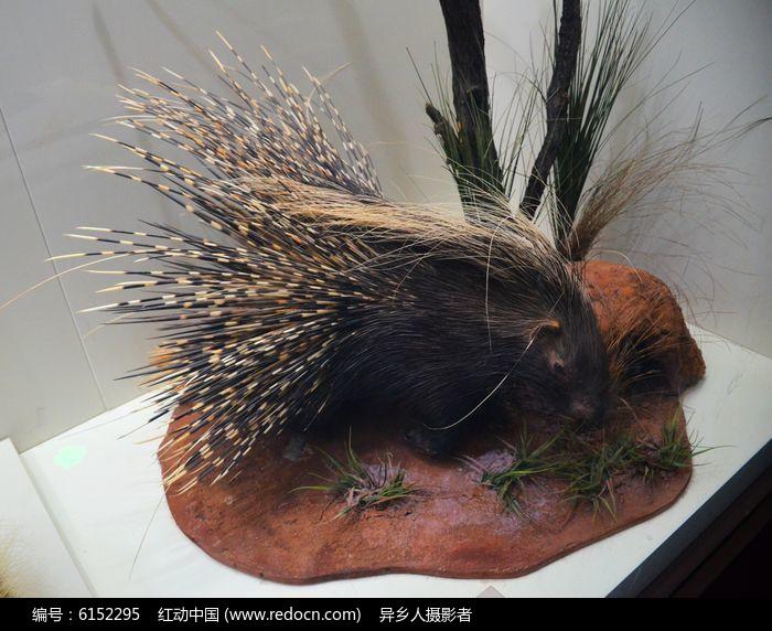 冠豪猪图片,高清大图_陆地动物素材