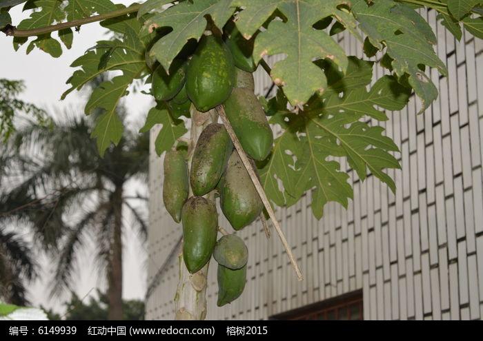 原创摄影图 动物植物 农作物 楼房旁边的木瓜