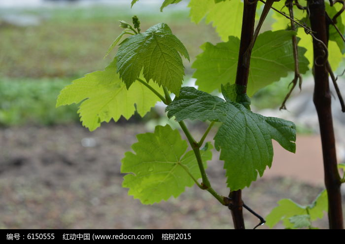原创摄影图 动物植物 树木枝叶 葡萄叶子  请您分享: 红动网提供树木