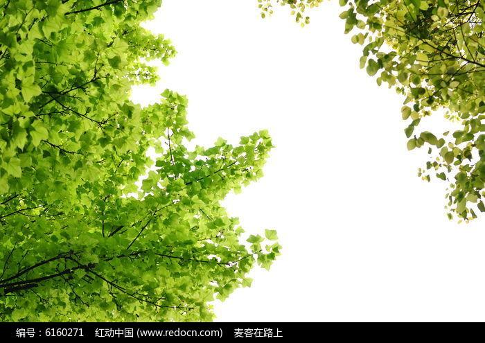 原创摄影图 动物植物 树木枝叶 白背景的树枝绿叶