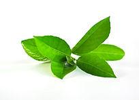 白色背景的绿叶