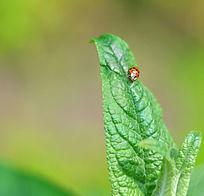 绿叶上的七星瓢虫