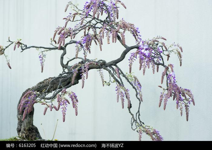 盆景紫藤图片,高清大图