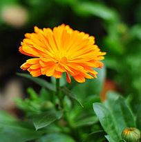 盛开的橘黄色雏菊