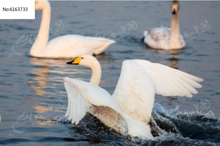 天鹅快速划水图片,高清大图_空中动物素材
